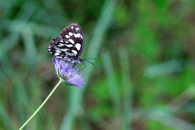 Farfalla al campo