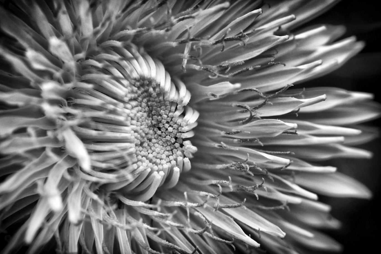 Girasole in black and white